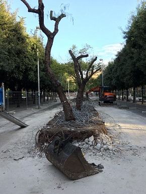 alberi-vasconi-piazza-umberto