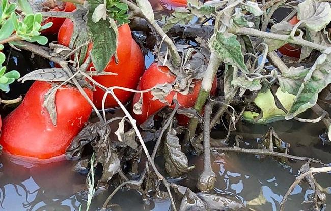 pomodori nel fango lesina