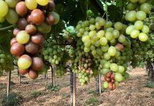 danni uva da tavola prov BA4