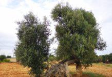 ulivo serranova