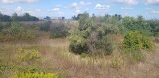 xylella, alberi infetti