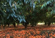 arance lasciate a terra nel tarantino febbraio scorso