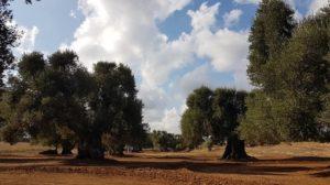 la piana degli ulivi monumentali