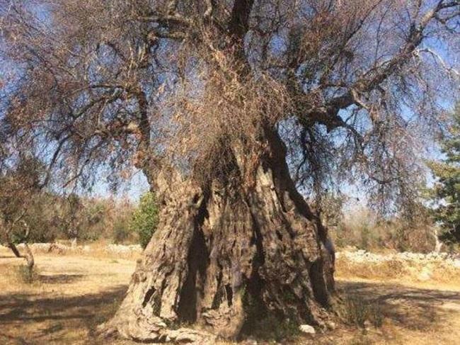 xylella (albero)