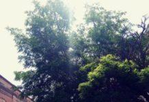 albero pericoloso per pedoni e auto