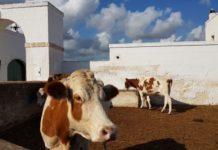 mucche mucca zootecnia allevamento