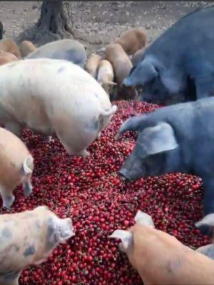 ciliegie date in pasto ai maiali